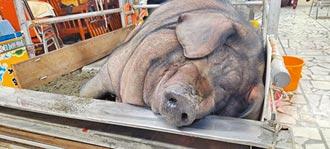 1614台斤 三峽神豬近5年最重