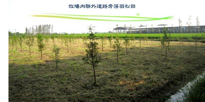 台南六甲落羽松是南部熱門景點,但當初其實是為了給乳牛舒適的環境,才大量種植的。(圖/翻攝自《來自永靖的老園丁 - 魏應充》)