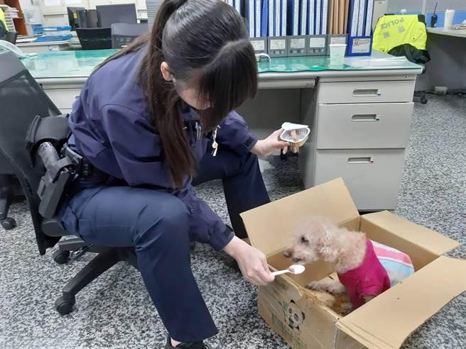 警方將走失的毛小孩先帶回派出所安置,值班女警員還特別買狗罐頭餵食。(新莊分局提供/李俊淇新北傳真)