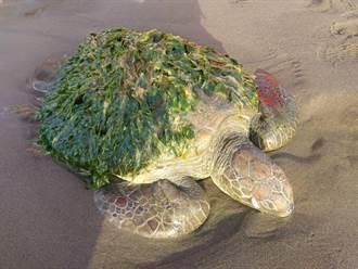 七股網仔寮沙洲發現擱淺綠蠵龜 外殼遍布海草