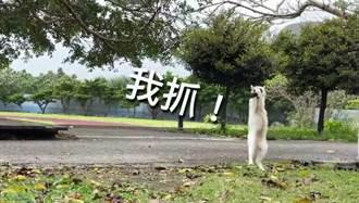 寒假延後開學 蘭嶼校貓餓壞了 展絕技撲燕子
