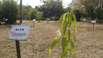 玉井公所打造芒果樹公園 讓遊客一次認識15品種芒果樹