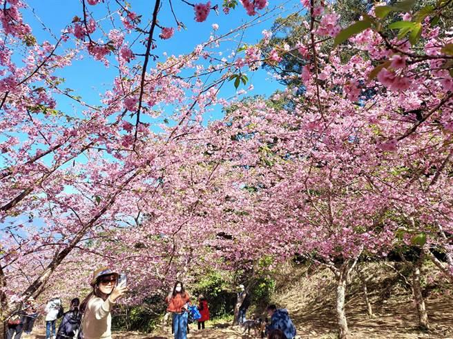 二月微涼的天氣,正是上山賞櫻的好時節。(圖片提供/桃源區公所)