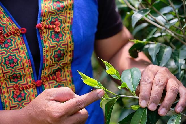 茶園主人拿普解說一心二葉的採茶步驟。(攝影/林衍億)