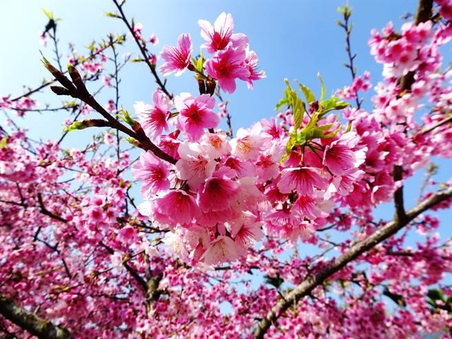古坑鄉草嶺村今大年初一起舉行「第一屆草嶺櫻花季」,花況非常好。(劉建成提供)