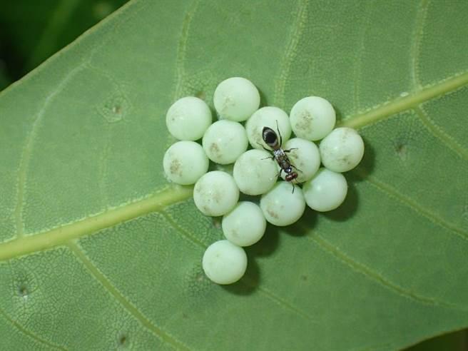 荔枝椿象的天敵平腹小蜂雌蟲準備產卵於荔枝椿象卵內,使其無法孵化而死亡。(台南區農業改良場提供/張亦惠嘉縣傳真)