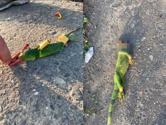 嘴塞鞭炮炸爛綠鬣蜥 民眾大玩炮刑遭轟:你跟畜生沒兩樣