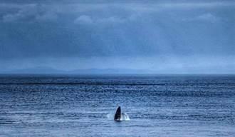 稀有大翅鯨母子現蹤蘭嶼跳躍 達悟人驚呼:要豐收了