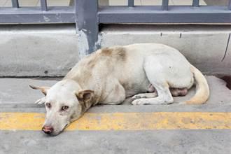 流浪狗被撞躺路邊同伴守一整晚 隔天被救後反應眾人暖哭