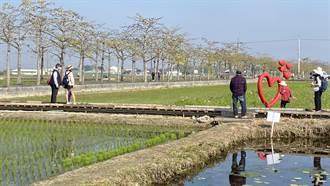 台南白河木棉花季開跑 目前花開約1成