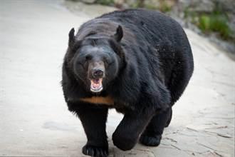 野營如廁驚覺臀部被咬 馬桶裡竄出黑熊臉與遊客對視