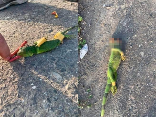 有不肖人士為了追捕綠鬣蜥,竟將抓到的綠鬣蜥五花大綁後,在嘴裡塞入鞭炮「活活炸死」。(圖/翻攝自臉書爆料公社)