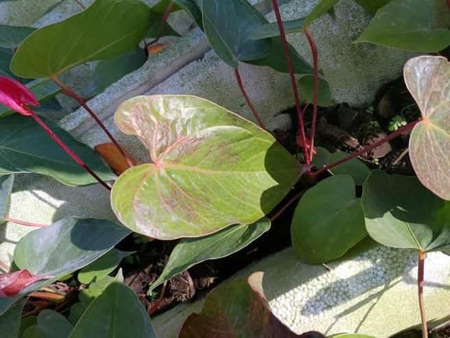 也有火鶴花葉片損傷,呈現暗色斑。(農業局提供/李宜杰台南傳真)