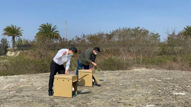 嘉義縣政府農業處今天野放2隻食物中毒後經照料恢復健康的黑面琵鷺。(嘉縣政府提供/張亦惠嘉縣傳真)