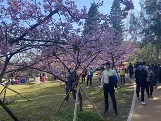 偽出國賞櫻!竹市3大追櫻勝地大公開 新竹公園、汀甫圳、新竹左岸