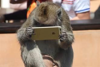民眾逛動物園掉手機 猴子拾獲低頭玩蘋果