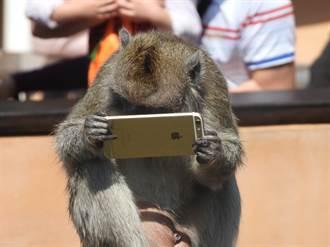 遊客逛新竹動物園遺落手機 馬來猴樂當低頭族撿起來狂滑