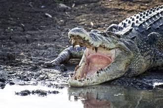 3公尺貪吃巨鱷吞球鞋下肚 下場慘到哭