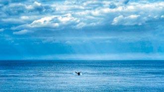 座頭鯨母子悠游蘭嶼 鄉親搶拍