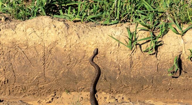 大陸河南一村莊近日出現一條大蛇,每天都準時爬上墳頭曬太陽,吸引眾多民眾前來圍觀祭拜。(示意圖/達志影像)