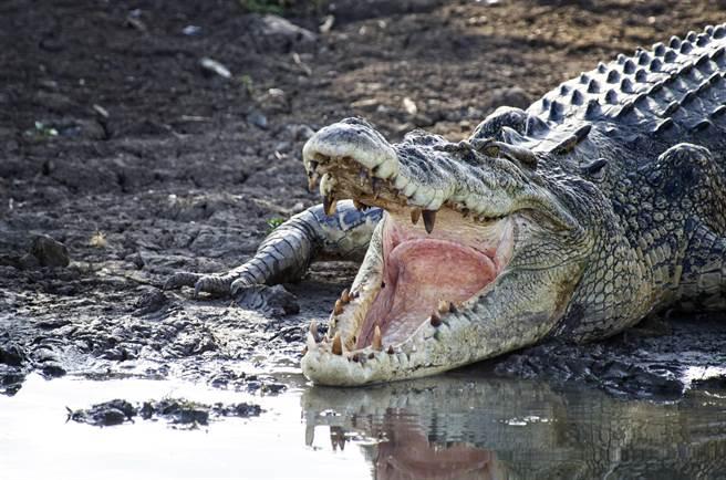 美國一隻3公尺鱷魚因為貪吃將遊客球鞋吞下肚,最後進行開胃手術才成功取出。(示意圖/達志影像)