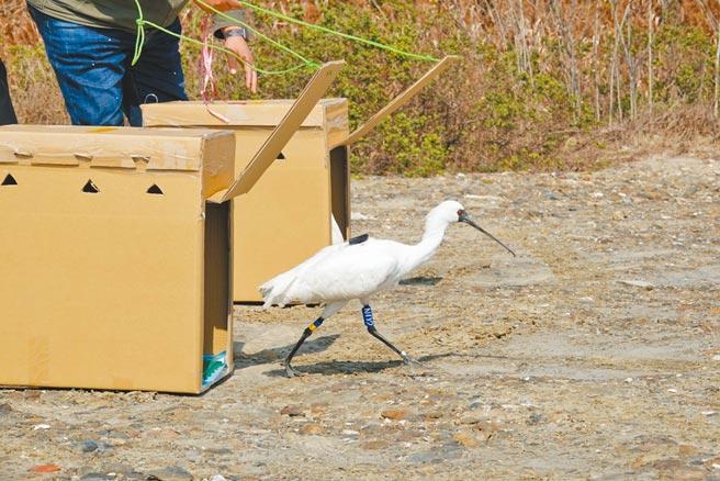 2隻中毒的黑面琵鷺經過特有生物保育中心悉心照料後康復,20日野放重返大自然。(嘉義縣政府提供/張亦惠嘉縣傳真)