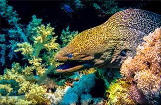 海鰻偷襲張大口「電鑽式旋轉」 下秒章魚一條腿沒了