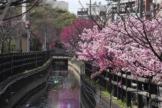 新竹市追櫻勝地大公開 不能錯過的新竹三大賞櫻地點
