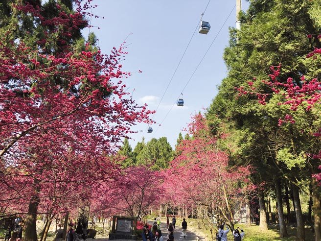 九族文化村的「九族櫻花祭」,不僅可沿路駐足賞櫻,也可坐纜車,從高空俯瞰花海之美。圖/劉朱松