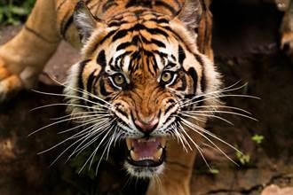 他帶活雞到動物園釣老虎 殘忍畫面網全怒了