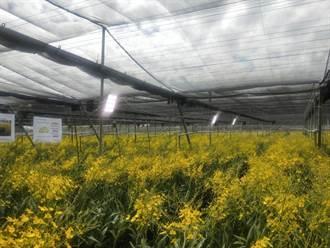 文心蘭智能補光 A級切花產量增50%、每支多賺10元