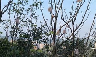 左化鵬》瀕臨絕種的「南國寶樹」