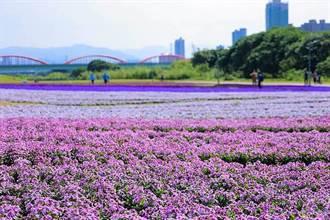 北市發現「紫爆」 古亭河濱13萬盆花海展浪漫