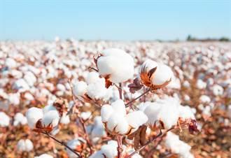 澳洲棉花豐收 沒陸182億市場農民狂找替代方案