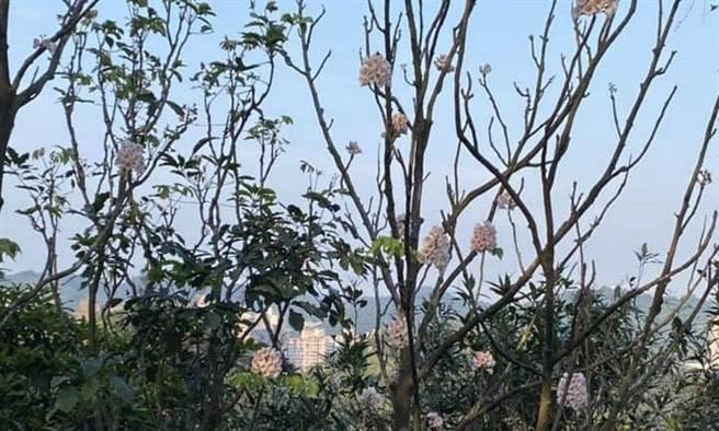 左化鵬》瀕臨絕種的「南國寶樹」。(作者提供)