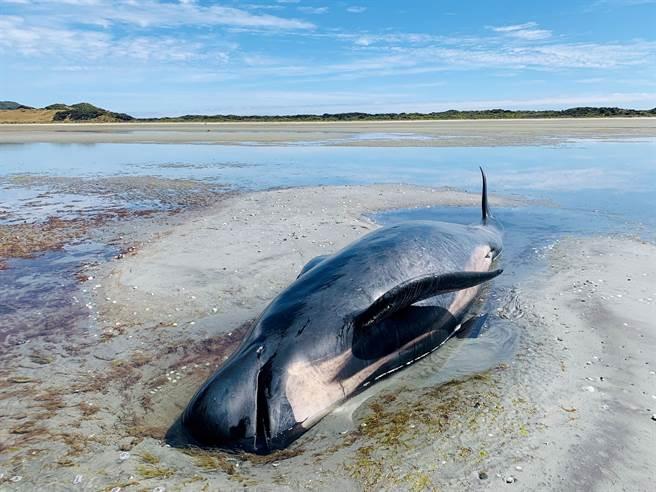 紐西蘭數十鯨魚擱淺 28頭推回海中但恐再度上岸。(圖/路透)