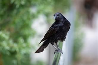喂乌鸦意外组「护卫队」 保护欲太强狂攻击邻居 结局暖心