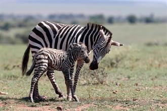 新生小斑馬羊膜還掛在身上 剛學會站立下秒慘死獅口