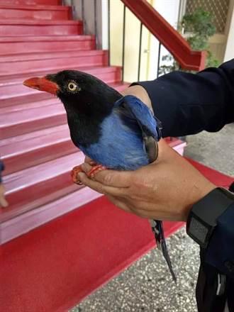 台灣藍鵲鬥毆幫調停 員警:偶爾也當野生動物保姆