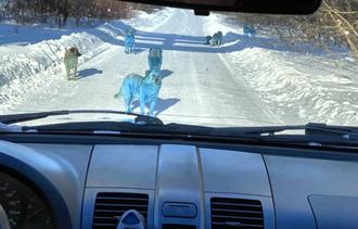 新品種?7隻藍色流浪狗半路攔車 真相曝光網全怒了