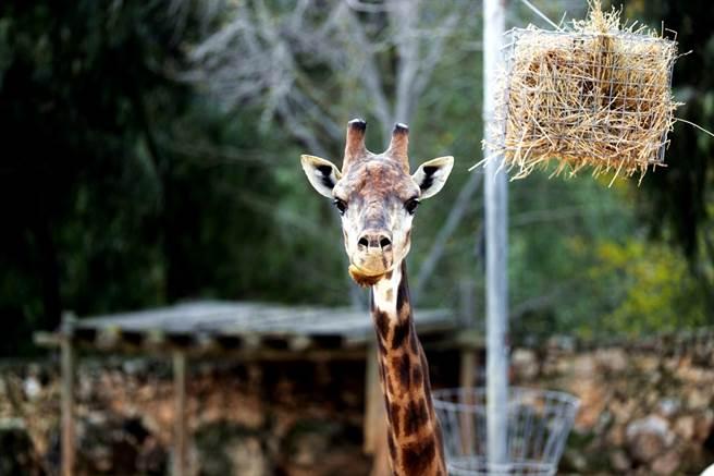 南非女獵人梅威(Merelize Van Der Merwe)日前在臉書貼出自己獵殺長頸鹿、手捧著長頸鹿血淋淋心臟的照片及影片,炫耀是老公送給自己的「完美」情人節禮物,殘忍行徑激怒保育人士。圖為長頸鹿資料照。(資料照/路透社)