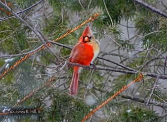 罕見雌雄同體北美紅雀現蹤 毛色超完美對稱專家都驚嘆