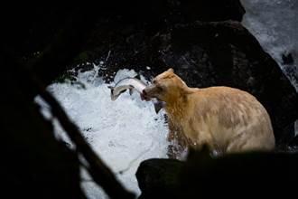 白熊捕鱼「落漆」失手 下秒见人性化反应网全笑翻
