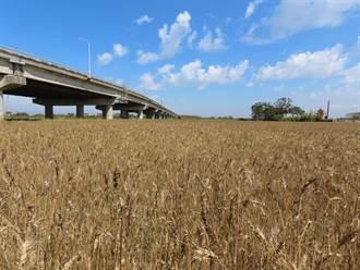 學甲小麥採收期到 金黃稻浪美景看得到