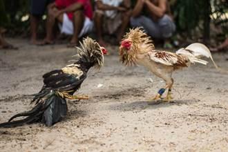 路邊看鬥雞比賽 衰男竟慘被雞鬥死