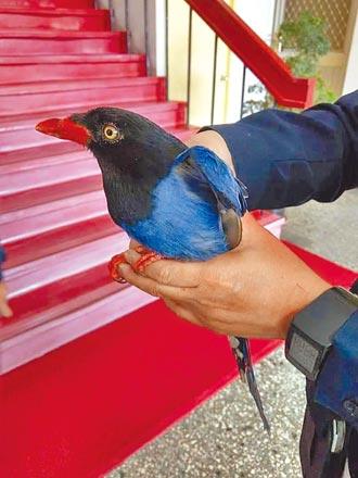 藍鵲扭打 傷鳥棲警所放飛