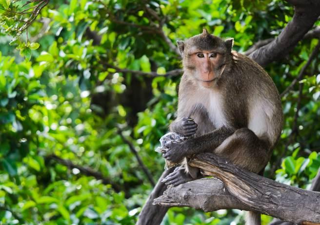 美國面臨實驗用猴短缺問題,研發新疫苗恐面臨困難。該國有超過6成實驗用猴仰賴中國大陸供應,但大陸為防疫去年1月已禁止交易野生動物,至今未解。(示意圖/達志影像shutterstock)