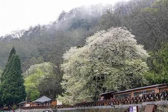 「苗」準花季期間 至「花都」苗栗來場賞花輕旅行