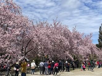 拉拉山櫻花接力盛開 228連假桃市疏運成考驗