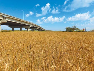 鳥害嚴重 台南學甲小麥減產2成
